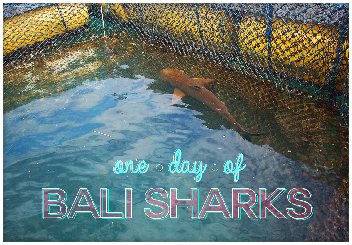One Day of Bali Sharks